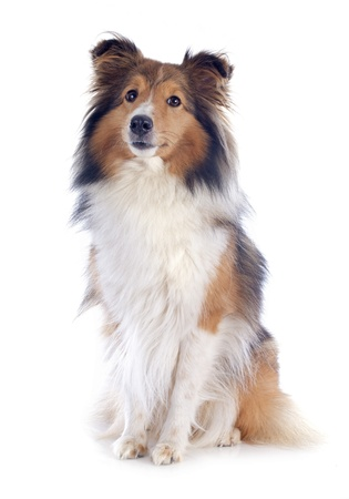 dog sitting: portrait of a purebred shetland dog in front of white background