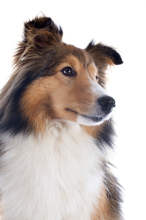 portrait of a purebred shetland dog in front of white background Stock Photo - 17676515
