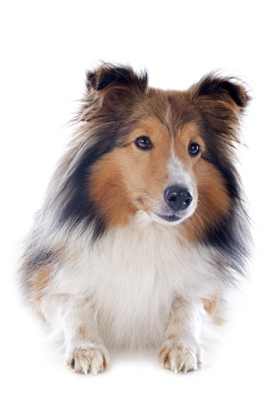 portrait of a purebred shetland dog in front of white background Stock Photo - 17676509