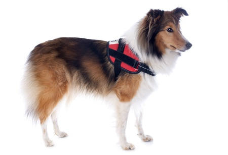 portrait of a purebred shetland dog with harness in front of white background Stock Photo - 17676500