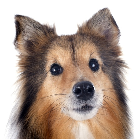 portrait of a purebred shetland dog in front of white background Stock Photo - 17676526