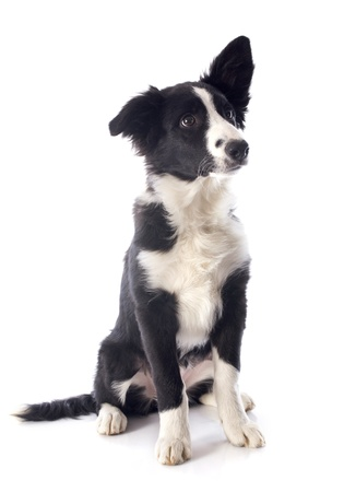 portrait of puppy border collie in front of white background Stock Photo - 17676494