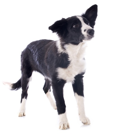 portrait of puppy border collie in front of white background Stock Photo - 17676499