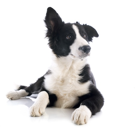 border collie: portrait of puppy border collie in front of white background