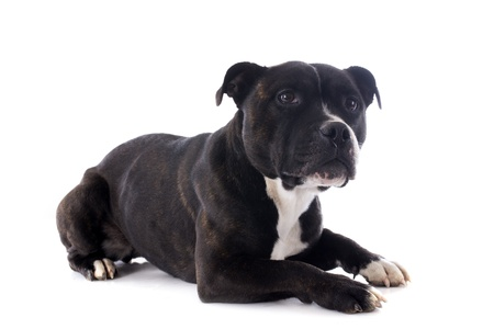 portrait of a staffordshire bull terrier in front of white background photo