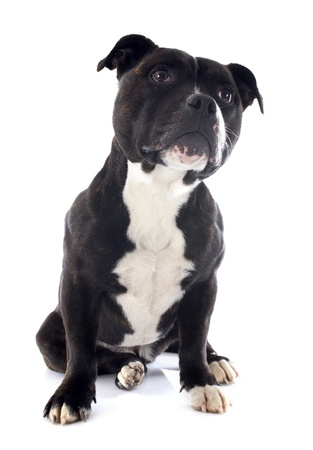portrait of a staffordshire bull terrier in front of white background Stock Photo - 17676495