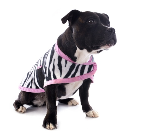 portrait of a staffordshire bull terrier withe coat in front of white background Stock Photo - 17676492