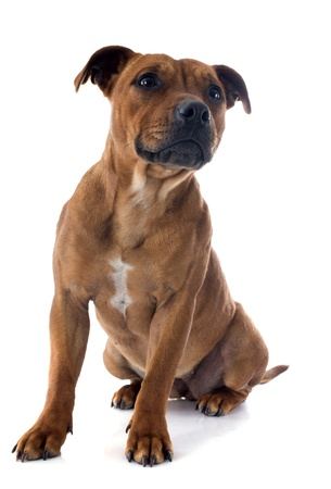 portrait of a staffordshire bull terrier in front of white background Stock Photo - 17841196