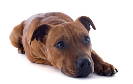portrait of a staffordshire bull terrier in front of white background Stock Photo - 17841198