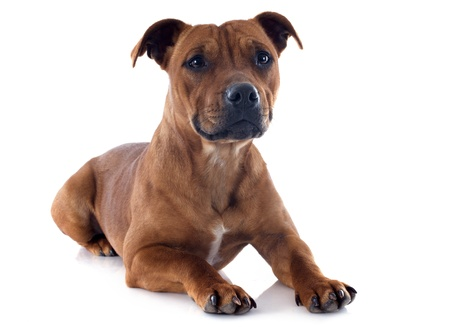 portrait of a staffordshire bull terrier in front of white background Stock Photo - 17841202