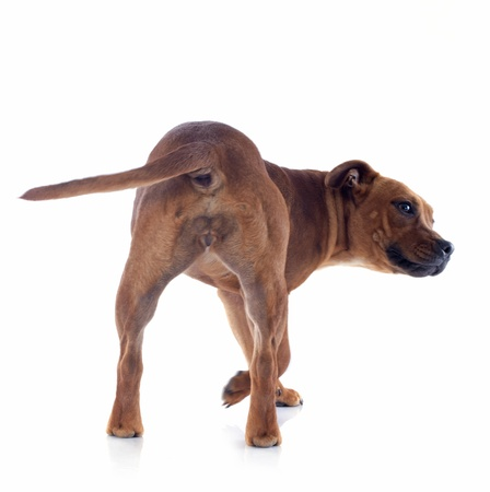 back  of a staffordshire bull terrier in front of white background Stock Photo - 17849617