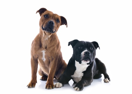 brindle: portrait of two  staffordshire bull terrier in front of white background Stock Photo