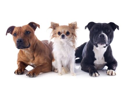 three animals: portrait of a staffordshire bull terriers and chihuahua in front of white background Stock Photo