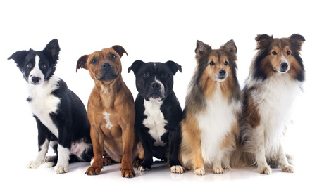 portrait of five purebred dogs in front of white background Stock Photo - 17841201
