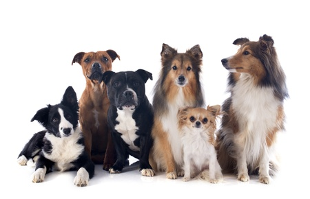 portrait of a purebred  dogs in front of white background Stock Photo