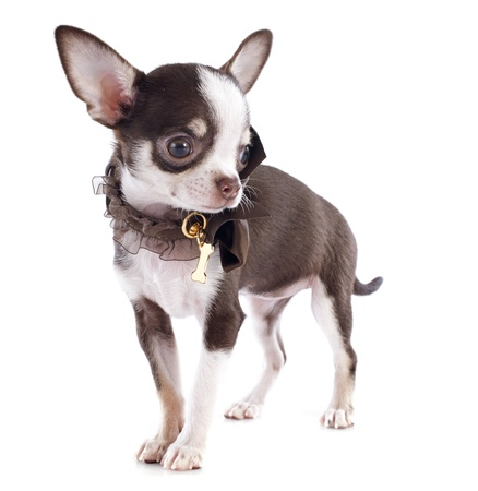portrait of a cute purebred  puppy chihuahua in front of white background Stock Photo - 17841200