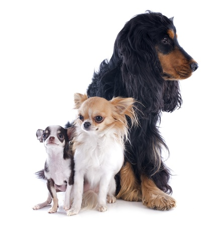 portrait of a cute purebred chihuahuas and cocker spaniel in front of white background Stock Photo - 17841205