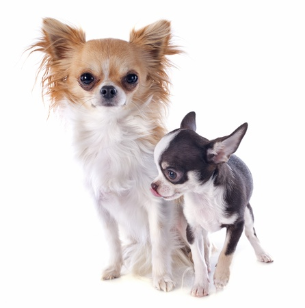 portrait of a cute purebred  puppy and adult chihuahua in front of white background Stock Photo - 17841204