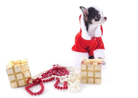 pedigree: portrait of a dressed puppy chihuahua with copy space in Christmas in front of white background