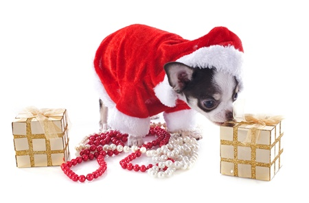 portrait of a dressed puppy chihuahua with copy space in Christmas in front of white background Stock Photo - 17841197