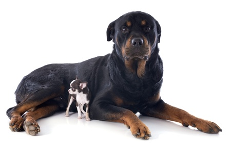 portrait of a purebred rottweiler and puppy chihuahua in front of white background Stock Photo - 17841216