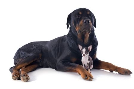 portrait of a purebred rottweiler and puppy chihuahua in front of white background Stock Photo - 17841212