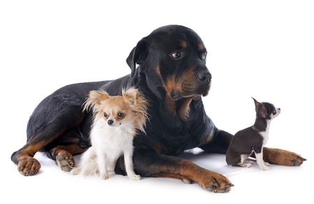 portrait of rottweiler and chihuahuas in front of white background Stock Photo - 17841206