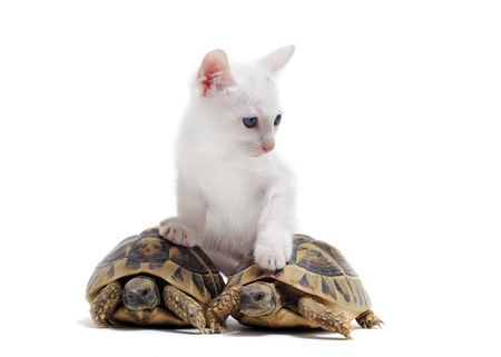Two tortoises isolated and kitten on a white isolated background Stock Photo - 18119328