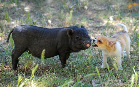 little black piggy and puppy chihuahua in the nature Stock Photo - 18119357