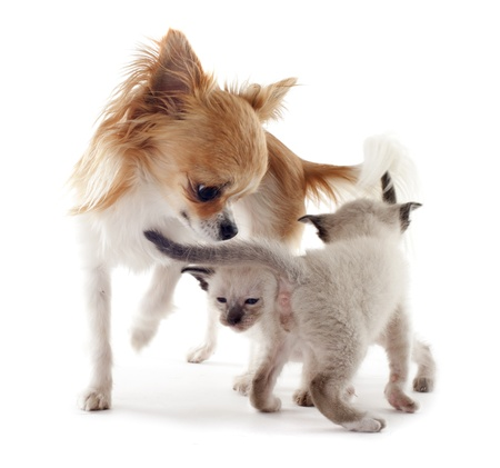 beautiful purebred siamese kitten and chihuahua in front of white background Stock Photo - 18119344