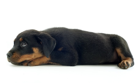 portrait of a purebred puppy rottweiler in front of white background Stock Photo - 18119345