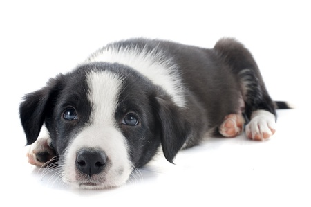 portrait of puppy border collie in front of white background Stock Photo - 18119349