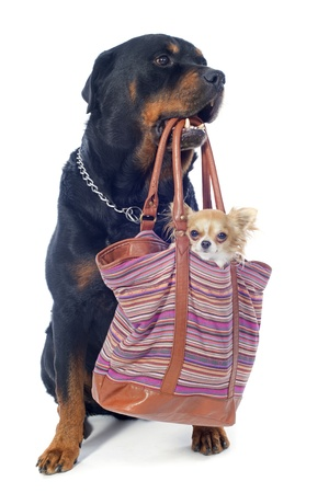 portrait of a purebred rottweiler and  chihuahua in a bag  in front of white background Stock Photo - 18119394