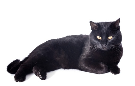 beautiful black cat in front of white background Stock Photo - 18119353