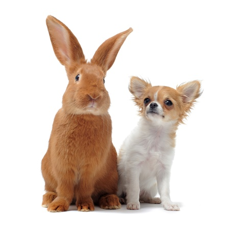 Porträt einer niedlichen reinrassigen Welpen chihuahua und Hase vor weißem Hintergrund Standard-Bild