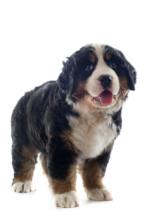 portrait of a purebred bernese mountain dog in front of white background Stock Photo - 18257753