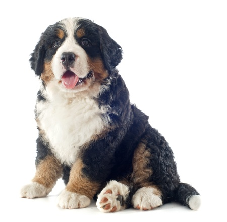 portrait of a purebred bernese mountain dog in front of white background Stock Photo - 18257779
