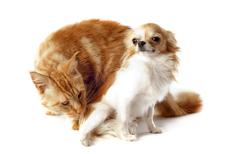 portrait of a purebred  maine coon cat and chihuahua on a white background Stock Photo - 18257781