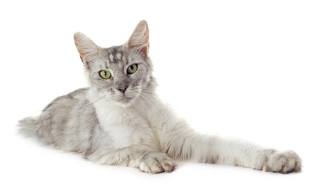 portrait of a purebred  maine coon cat on a white background Stock Photo - 18257750