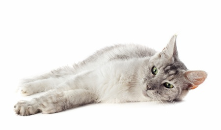 portrait of a purebred  maine coon cat on a white background Stock Photo - 18257749