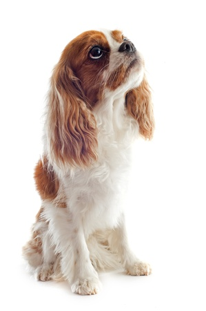young blenheim cavalier king charles in front of white background Stock Photo - 18257754