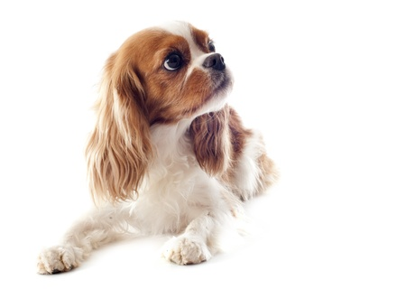 young blenheim cavalier king charles in front of white background Stock Photo - 18257746