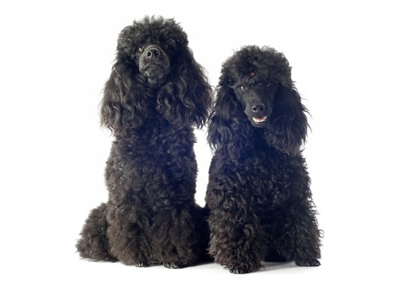 beautiful purebred poodles in front of a white background Stock Photo - 18257783