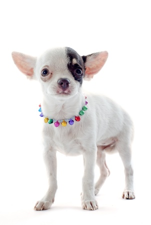 portrait of a cute purebred  puppy chihuahua in front of white background Stock Photo - 18257728