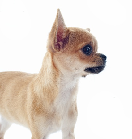 portrait of a cute purebred  puppy chihuahua in front of white background Stock Photo - 18257751