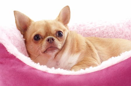 portrait of a cute purebred  chihuahua lying down  in front of white background Stock Photo - 18257784