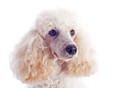 beautiful purebred poodle in front of a white background Stock Photo - 18257731