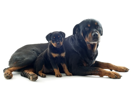portrait of purebred rottweiler puppy and adult in front of white background Stock Photo - 18257743