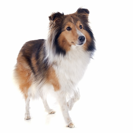 portrait of a purebred shetland dog in front of white background Stock Photo - 18257739