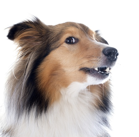 portrait of a purebred shetland dog in front of white background Stock Photo - 18257733